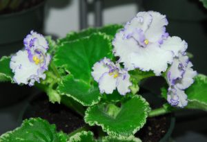 Ma's Arctic Sky (10130) 09/16/2009 (O. Robinson) Semidouble white frilled pansy/blue edge. Variegated medium  green and white, quilted, wavy, serrated. Standard