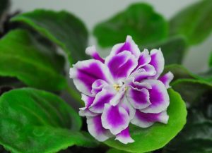 Jive/джайв (Morev/Mорев). Large (8cm) double bright lilac with white edge flowers. Medium green ovate leaves. Standard.